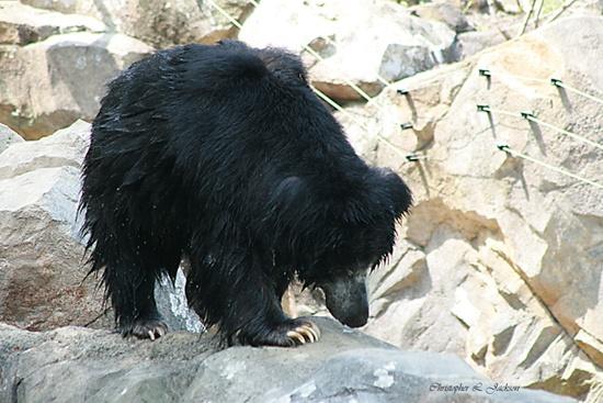Sloth Bear by Papa6