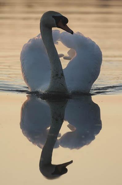 Backlit Swan