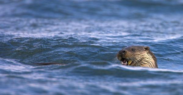 Fishing Otter by John_Wannop