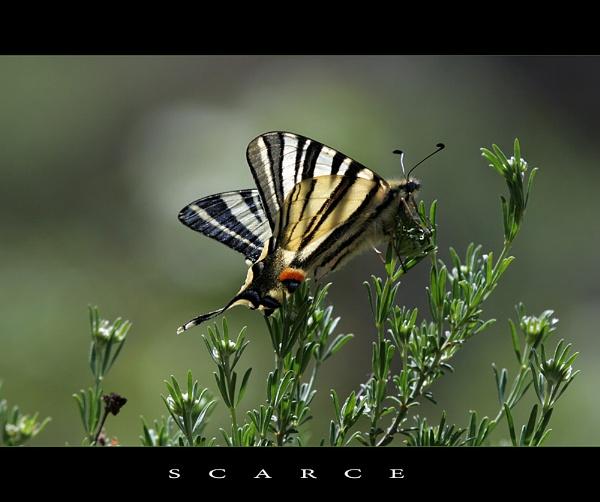 SCARCE by celestun