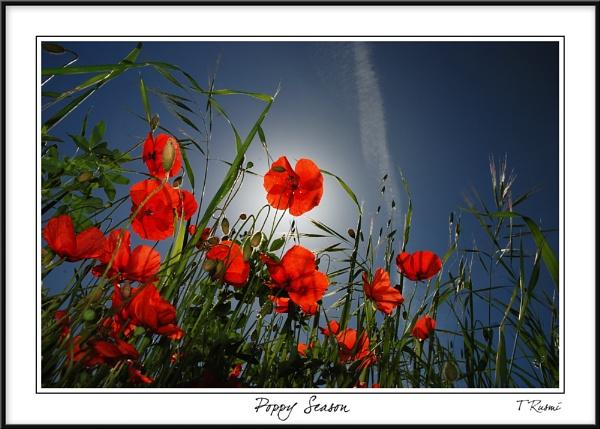 Poppy Season by rusmi