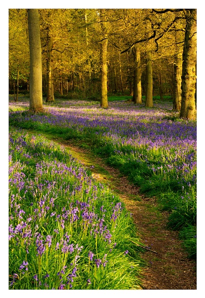 Bluebell woods by katieb