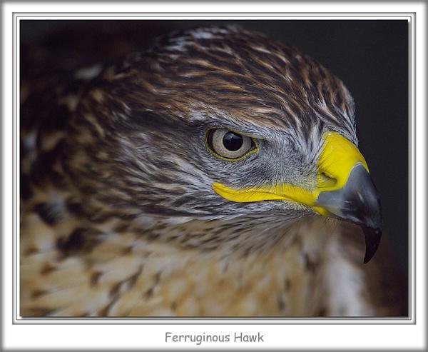 Ferruginous Hawk by abtuie