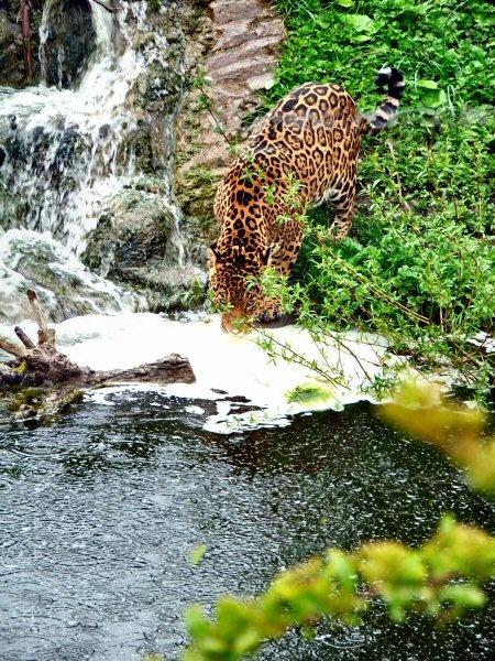 Jaguar by lcmerrin