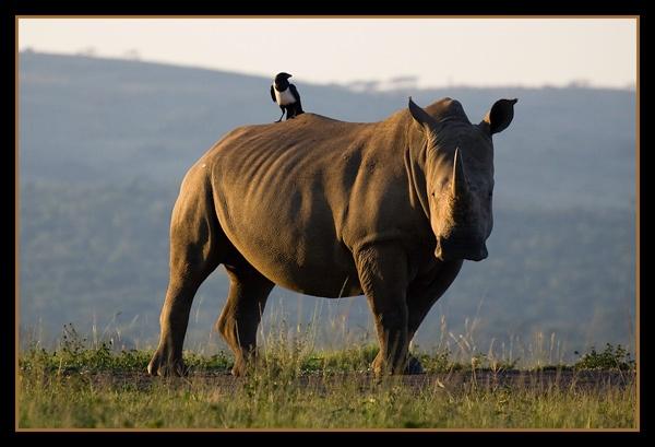 White Rhino by StNick
