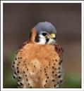 Falco sparverius by tomcat