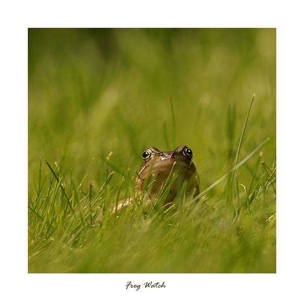 Frog Watch by wyatturp