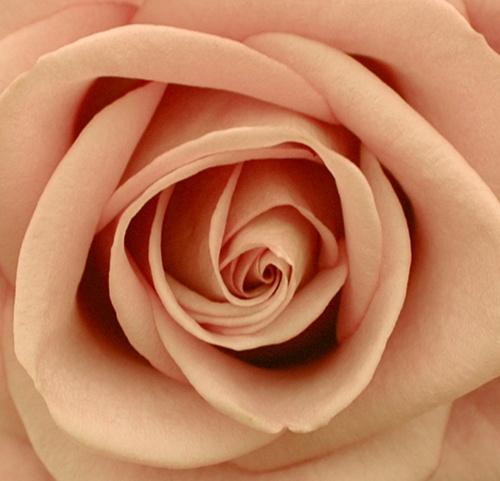 Rose by LizzieN
