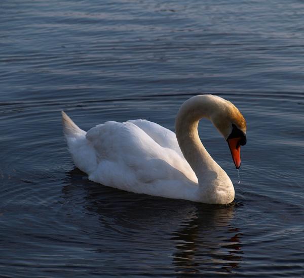 Drifting Swan by chensuriashi