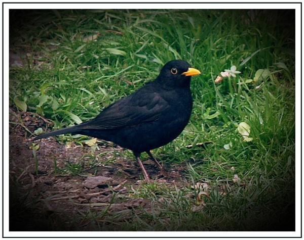 Mr Blackbird by trissie