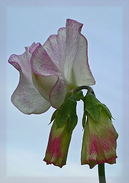 first sweet pea by CarolG