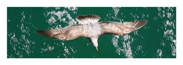 Speeding Seagull by StephenBrighton