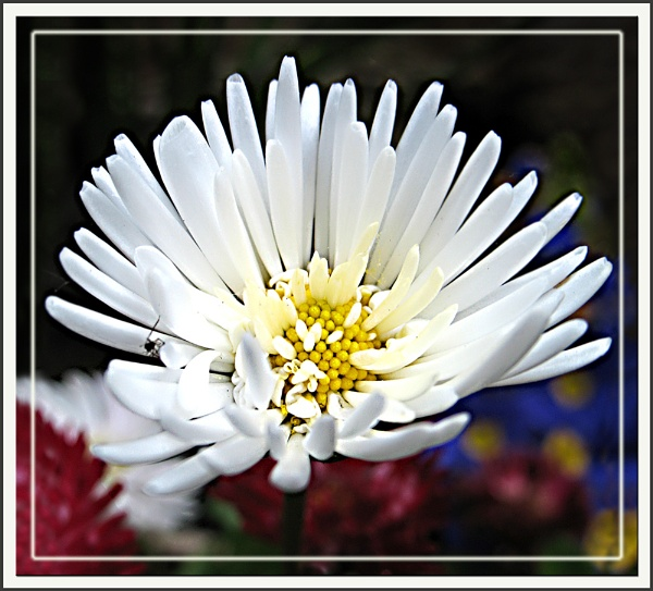 Daisy by Sylviwhalley