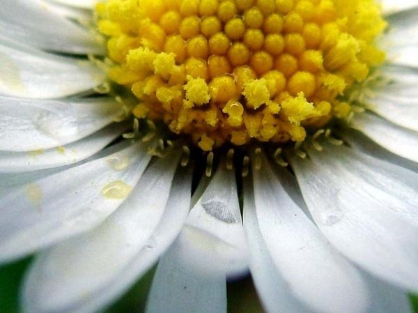 big ole daisy by clara_bow