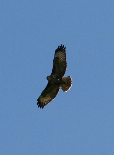 buzzard by sav007