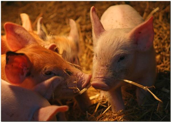 Little Piggies by bolebrown