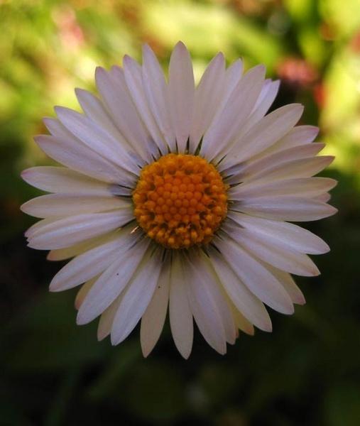 Daisy Sunrise by Lois96