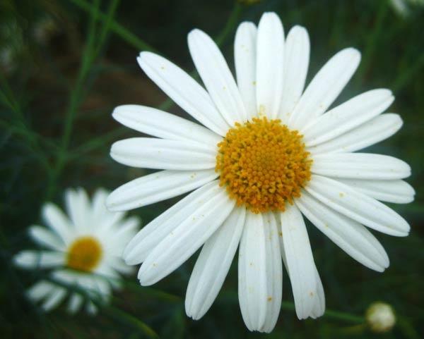 Daisy by Lois96