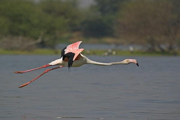 flamingo in flight by wildlens