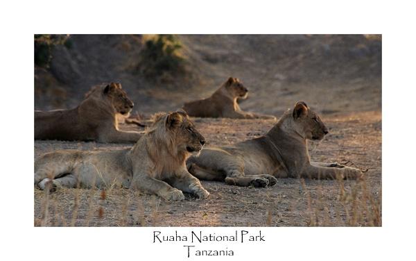 Four Lions by JakeK