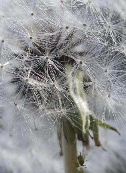 Dandelion by mavericke