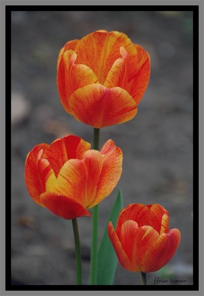 tulips by ducatifogarty