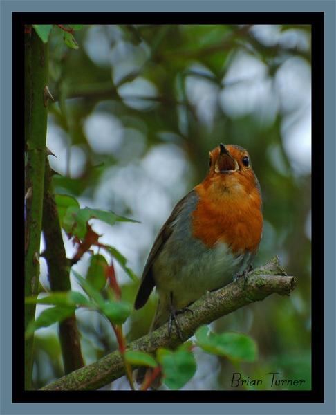 singing robin by ducatifogarty