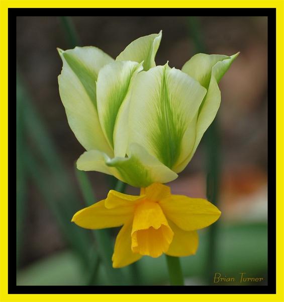 daffodil by ducatifogarty