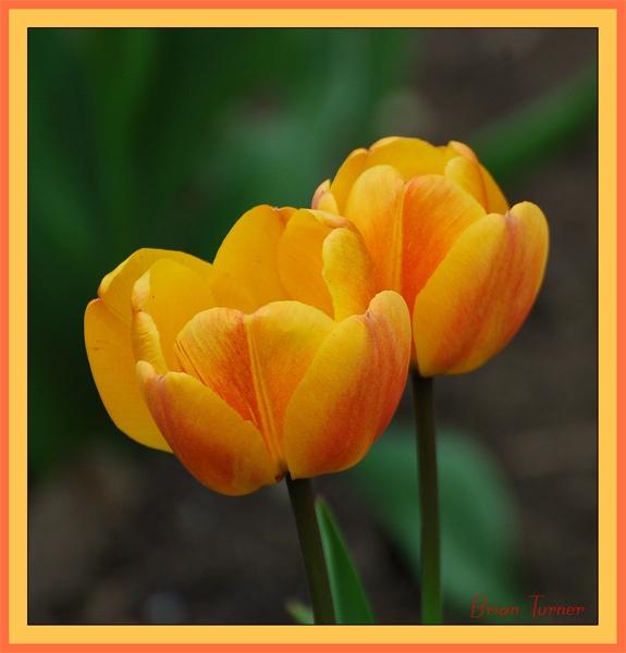 tulips 2 by ducatifogarty