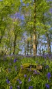 Bluebells by StevenHanna
