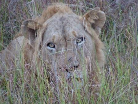 Male Lion by fergusonrae