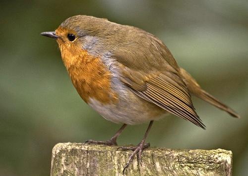 Robin by ryanz