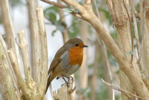 Robin by ericcarpenter