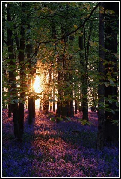 Sunset Bluebells by jimbo_t