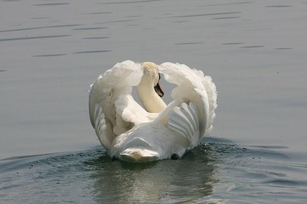 Swan by cheddar-caveman
