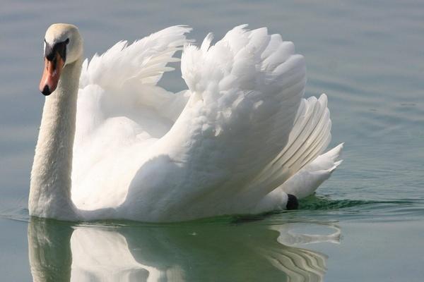 The swan by cheddar-caveman