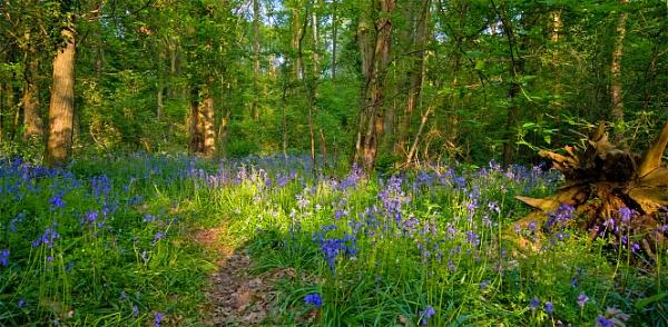 Borthwood Bluebells by gmuncaster