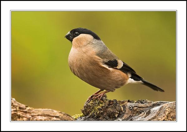 Female Bullfinch by proberts