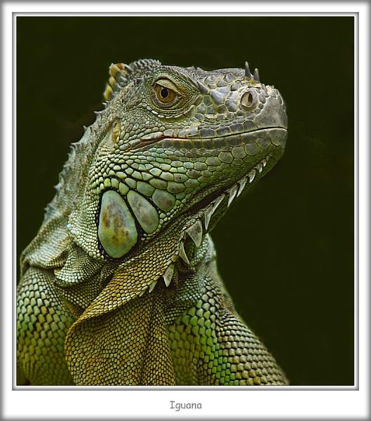 Iguana by abtuie