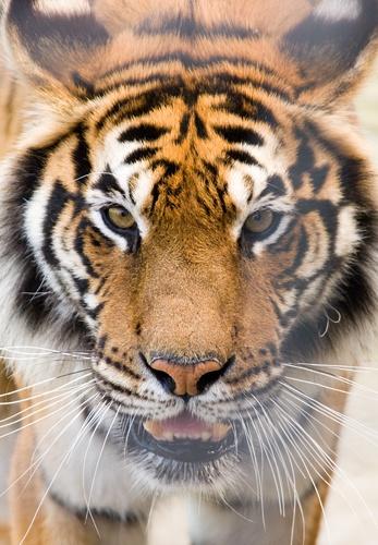 Tiger by vparmar