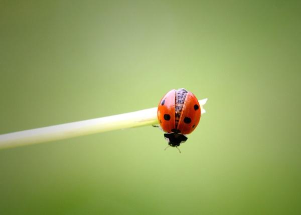 Ladybird 2 by Trev_p