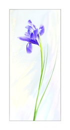 love of the Iris