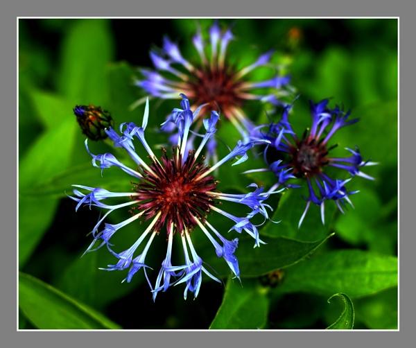 CORN FLOWER by emefbee
