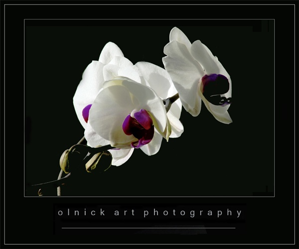 orchid by beriah