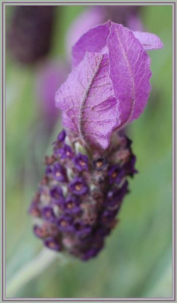 lavender by CaroleA