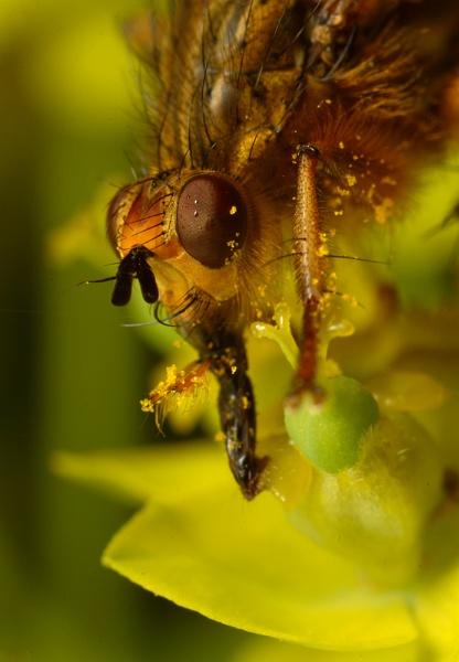 Feeding Dungfly by alliec