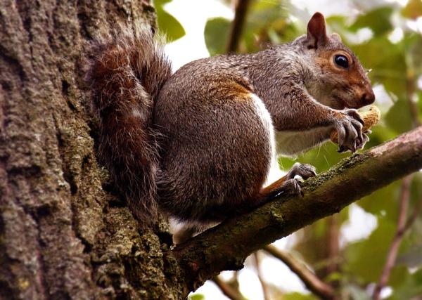 Snacking Squirrel by chensuriashi
