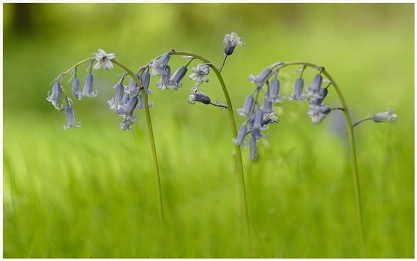 Bluebells by bfgstew