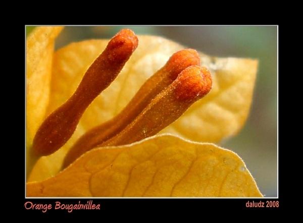 Orange Bougainvillea by LourdesV