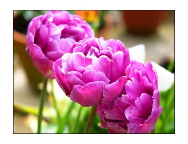 tulip by Alex_M